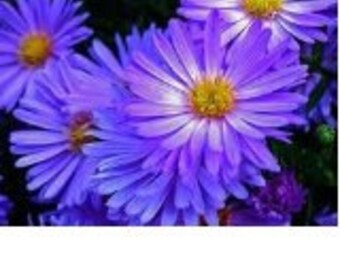 Aster Rudolph Goethe  Flower Seeds / Perennial 25+