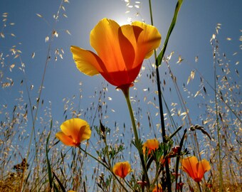 """Digital Download Photography """"Poppies"""""""