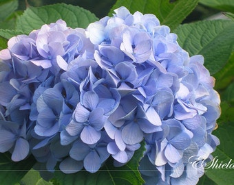 Hydrangea Blossom - SALE