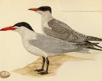Vintage lithograph of the Caspian tern from 1953