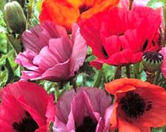 Oriental Poppies Grandeur Mixed Colors Red Pink Fuchsia White Orange Regal Beauties Perennial Flower Seeds
