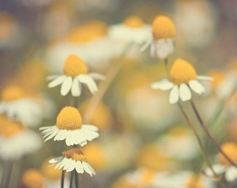 chamomile photography, yellow, daisy, flower photography, nature photography, spring, summer, mustard yellow, green, 1970s / chamomile
