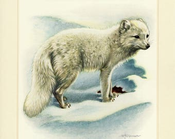 Vintage lithograph of the arctic fox from 1956