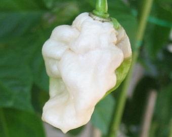 Ghost Bhut Jolokia White Hot Pepper Organic Live Plants (2 Pack)