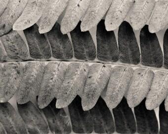autumn fern detail, 8x10 fine art black & white photograph, nature