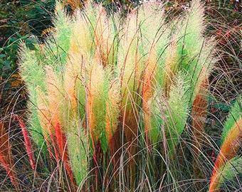 Colorful Pampas Grass Cortaderia Seeds Cheap 500 Seeds (Item No: 1)
