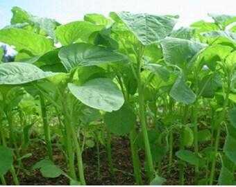 Green Amaranth ( Spinach,Cheera) 250+ Seeds