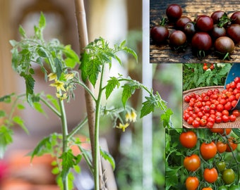 Plant Seed Growing Kit, eco friendly gift, Unusual Cherry Tomatoes, Red, Orange and Black Tomato Seeds, for Balcony, Terrace, Kitchen