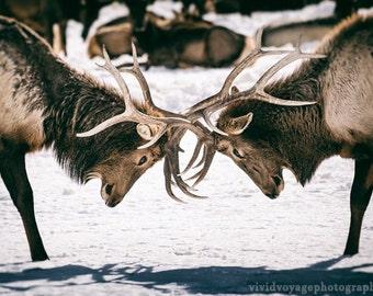 Elk Photograph, Wildlife Art Print, Bull Elk Photo, Nature Photography, Bull Elk Sparring, Animal Photography, Art For Men, Animal Print