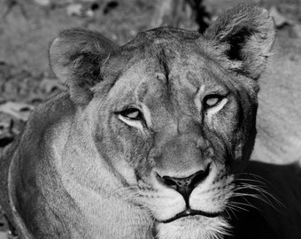 Lioness, Nature Photography, Black and White Fine Art Photography