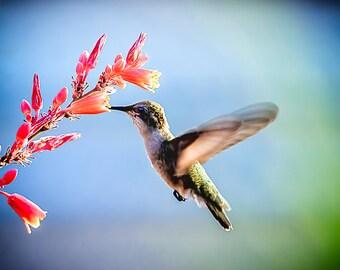 "Hummingbird Photo Print, Nature Photography, 8x10 Photograph Print, ""Nectar of the Red Cactus"", Wildlife Wall Art, Nature Wall Decor"