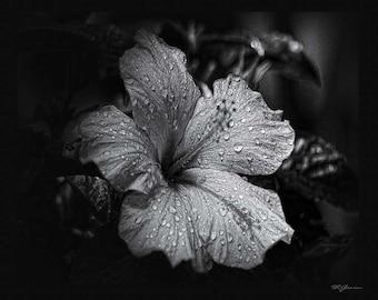 Morning dew on Hibiscus