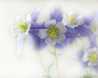 Columbines Photography, Floral wall art, Spring Flowers, Wall Decor, Nature Photography, Flower art, Colorado wildflower