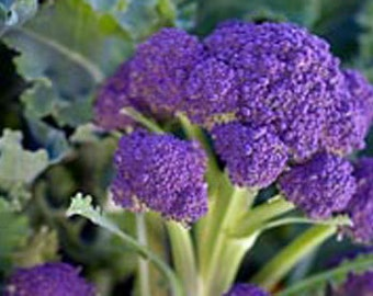 Purple Sprouting Broccoli - Heirloom Seeds