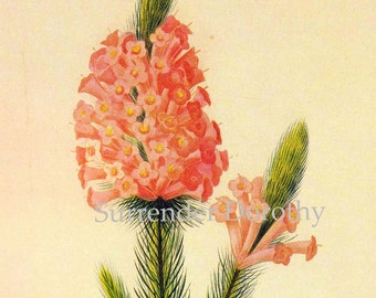 Salisbury African Heather Wild Flower Vintage Poster Print Redoute Botanical Lithograph To Frame 68