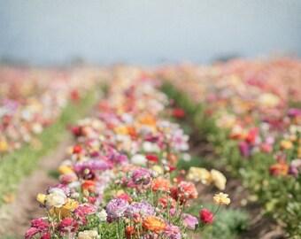 Flower Photography -  Ranunculus Field, Floral Fine Art Photograph, Nature Photography, Wall Decor