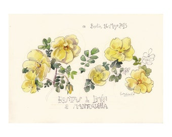 Yellow Roses, watercolour pencil drawing, PRINT of botanical floral drawing. Botanical art by Catalina.