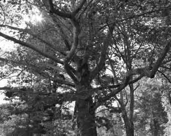 Autumn Sunshine through tree branches- Black and White