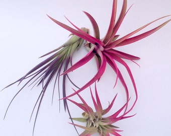 Air Plant Fun Pack Mix of 3 Plants