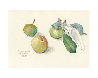 Apples #5 - PRINT of watercolor and pencil drawing of three green apples - Fruits art Botanical art by Catalina S.A