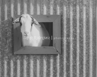 Goat Photo - Farm Photography  - DIGITAL DOWNLOAD - printable art - instant download - stock photography - digital photo