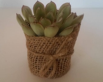 Burlap Succulent Wedding Favor