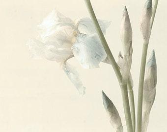 White Iris Photograph,  Sepia Toned Photograph, Vintage Inspired  Botanical Art Print, Shabby Chic Home