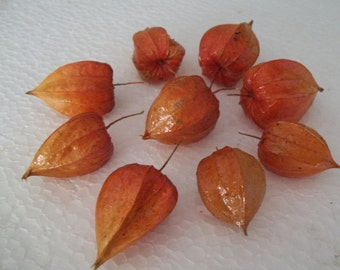 Nine dried Chinese Lantern seed pods from Physalis alkekengi plants, for crafts and arrangements