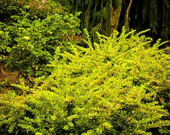 Lime Glow Japanese Barberry 1 Gallon