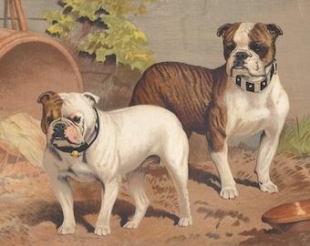 Vintage English Bulldogs Antique Bulldog Bully Breeds Antique Lithograph Art Print 1881