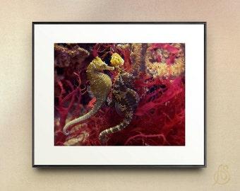 Seahorses - Sea Life, Marine Wildlife Photography, Ocean fine Art Photograph - 8x10  8x12 11x14