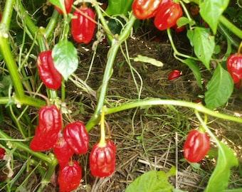 Hot Pepper Plant, Caribbean Red Super Hot Organic Heirloom