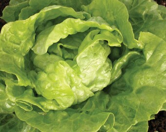 Tom Thumb Butterhead Lettuce Heirloom Seeds Naturally Grown Non-GMO Open Pollinated Gardening