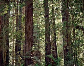 Redwood arbres, photographie de paysage de forêt, arbre Photo, décor bois, Nature, vert et brun, grand mur Art, California Redwood arbres