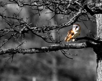 Barn Owl fine art photo - mounted owl print - 14 x 11 inch mount - owl - owl photograph - bird of prey - barn owl photograph - barn owl