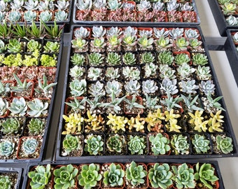 60 Assorted Succulent Plants 2 inch pot !! Great for wedding party favors
