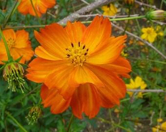 Orange Sulphureus Cosmos Flower Seeds / Annual / 35+