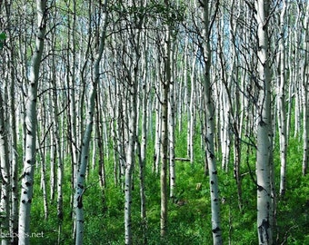 Aspen and Birch Forest, Summer in Montana, Beautiful Trees, Forest Healing, Green and White, Photograph or Greeting card