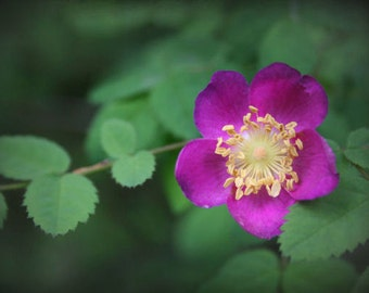 "Rose photograph, pink flower, green, home decor -- ""Woodland Rose"", a 5x7-inch fine art photograph"