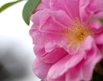 Wild Rose, Rose Photo, Nature Photography, Digital Download, Flower Photography, Macro Photography, Printable Art, Wall Art, Cottage Decor