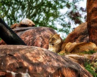 Lioness, Disney World, Animal Kingdom, Adventure, Travel, Photography, Disney Adventure's. Nature, Wildlife, Safari