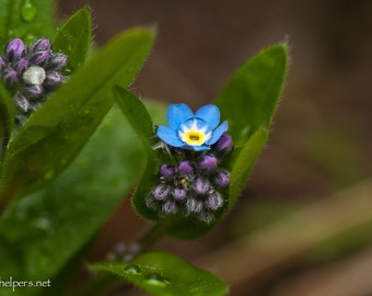 Forget-Me-Nots, Forest Wildflowers, Montana flowers, Rememberance of Love, blue and tiny wildflowers, Photograph or Greeting card