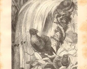 1879 King Bird-of-Paradise, Six-plumed Bird-of-Paradise, Lesser Bird-of-Paradise Original Antique Engraving to Frame