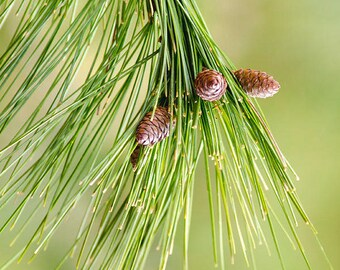 Pine Tree Photo Prints, Botanical Print, Fine Art Photography, Evergreen Nature Decor, Vertical Wall Art, Botanical Art, Nature Photography