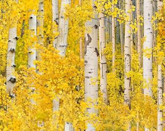 Aspen Trees - Gold by Elizabeth's Studio (491-GOL) Cotton Fabric Yardage