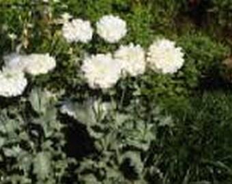 Peony Poppy- White Cloud- 100 Seeds