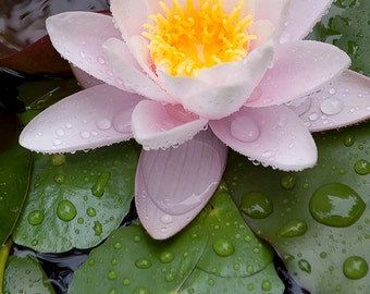 20 x 30 Large art print  - Flower photo - Water Lily - French garden photo - Fine art photography - Healing art, Wall art, Corporate art