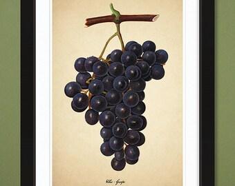Grapes Dark Purple – USDA Pomological Watercolor Collection 1918 (12x18 Heavyweight Art Print)