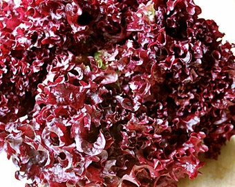 Lolla Rosa Heirloom Leaf Lettuce Seeds Non-GMO Naturally Grown Open Pollinated Gardening