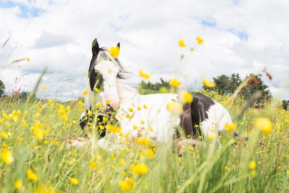 A painted Cob Horse,horse prints,equine pictures,Dorse countryside,limited edition print